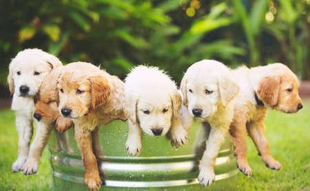 庭でのゴールデン ・ リトリーバーの子犬の愛らしいグループ