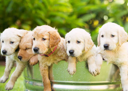 furry animal: Grupo adorable de cachorros golden retriever en el patio Foto de archivo