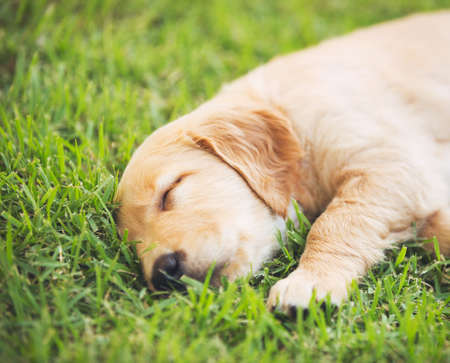 Adorable Golden Retriever Puppy Sleeping in the Yard