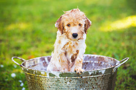 bubble bath: Adorable Cute Young Puppy Outside in the Yard Taking a Bath Covered in Soapy Bubbles Stock Photo
