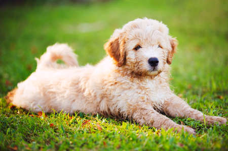 Adorable Cute Puppy Outside in the Yard Stock Photo