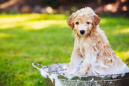 wash: Adorable Cute Young Puppy Outside in the Yard Taking a Bath Covered in Soapy Bubbles Stock Photo