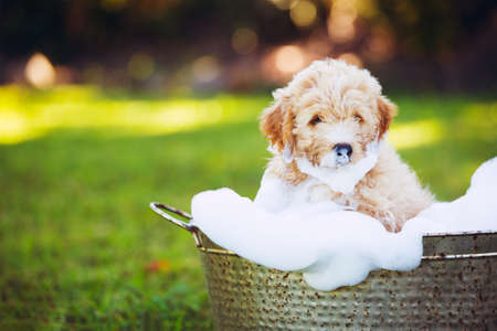 Adorable Cute Young Puppy Outside in the Yard Taking a Bath Covered in Soapy Bubbles Foto de archivo