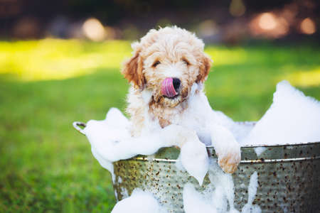 Adorable Cute Young Puppy Outside in the Yard Taking a Bath Covered in Soapy Bubbles Banco de Imagens