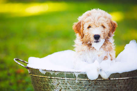 white wash: Adorable Cute Young Puppy Outside in the Yard Taking a Bath Covered in Soapy Bubbles Stock Photo
