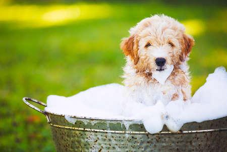 perrito: Adorable lindo del perrito joven en el patio cubierto que toma un baño de burbujas jabonosas