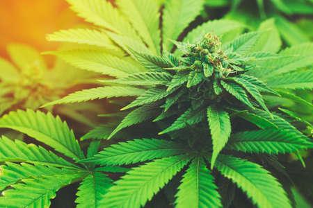 新進夕暮れ時の屋外マリファナの植物 写真素材