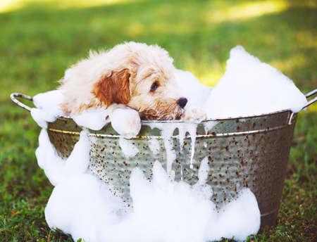 Schattige schattige puppy. Golden Retriever Puppy die een schuimbad