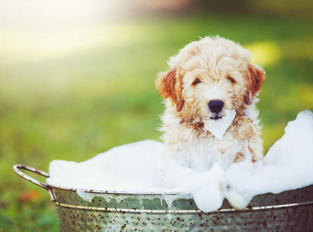 Adorable Cute Puppy. Golden Retriever Puppy taking a Bubble Bath