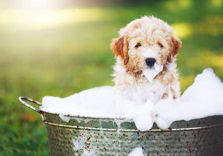 Adorable Cute Puppy. Golden Retriever Puppy taking a Bubble Bath