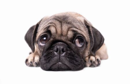 pug puppy dog isolated on white background Imagens