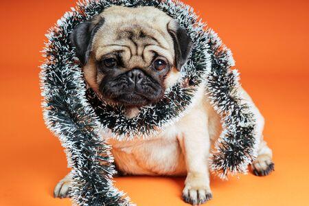 A beautiful pug sits on an orange background