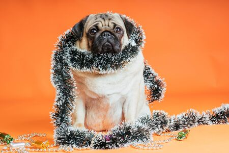 Sad dog wrapped in tinsel poses on an orange background. Imagens