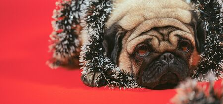 Sad dog wrapped in tinsel poses on an red background.