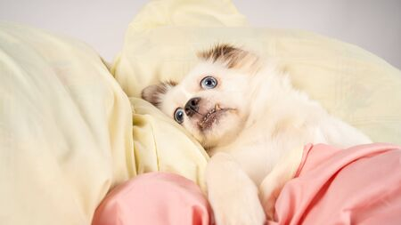 Samoyed dog in the bed on bedroom background. Little relaxed dog lying on bed. Little white dog with blue eyes lying on bed at home.