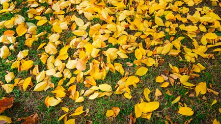Yellow fallen leaves from trees are in a green grass in autumn
