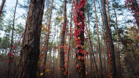 A wild grape entwines the trees in the autumn forest. Red autumn leaves of wild grapes on the trees Imagens