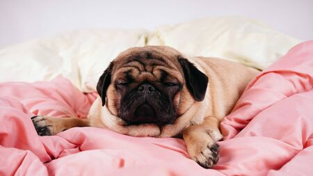 Close up face of cute pug dog breed lying on a dogs bed with sad eyes opened. Imagens