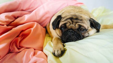 Close up face of cute pug dog breed lying on a dogs bed with sad eyes opened