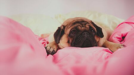 Funny portrait pug in human bed. Poor sad sick bored dog concept. Pet care and animals concept. Text copy space.