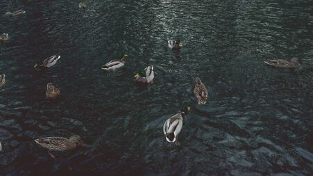 A lot of beautiful ducks are in a clean pond in the park
