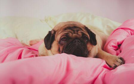Funny portrait pug in human bed. Poor sad sick bored dog concept.