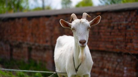 A goat grazes in the countryside. Banque d'images