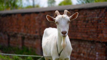 Une chèvre broute dans la campagne. Banque d'images
