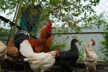 Ordinary red rooster and chickens looking for grains while walking in paddock on farm