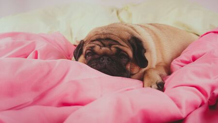 Close up face of cute pug dog breed lying on a dogs bed with sad eyes opened. Funny portrait pug in human bed. Poor sad sick bored dog concept. Pet care and animals concept. Text copy space. Archivio Fotografico