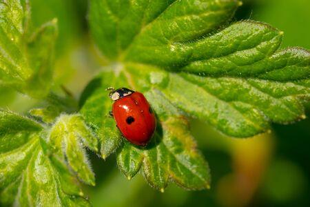 Close up of ladybug on green leaf. Concept of wildlife.