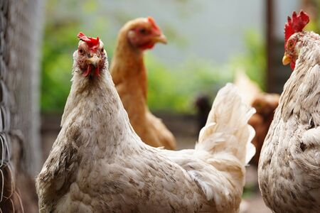 Chickens search for grain while walking in a paddock on a farm