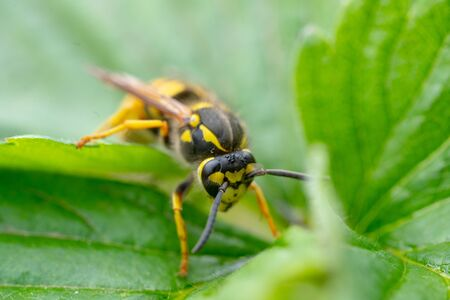 The dangerous yellow-and-black striped common Wasp sits on leaves