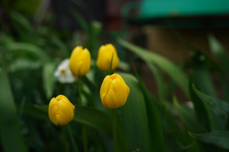 Close up of closed yellow tulips on background of green leaves. Beautiful flowers swaying in wind.