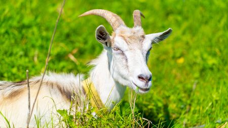 Close up of adult goat grazing in green meadow Stock Photo