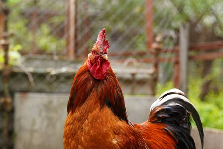Close up of adult rooster walking. Stockfoto