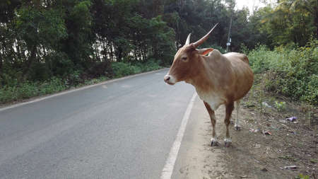 A cow is walking along the road on a Sunny summer day. Cow walking on the road, filmed in India
