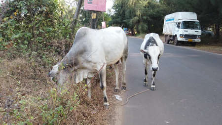 Morjim, India December 14, 2019: Group of cow are walking on the road. Cows walking on the road