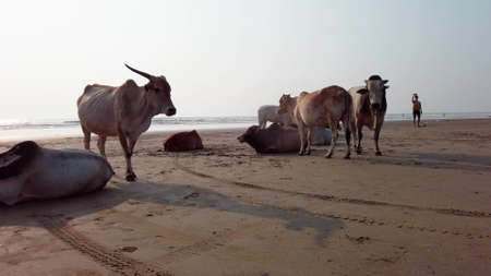 Cows on the Beach in Goa India. Dairy Cows Resting On Sandy Beach