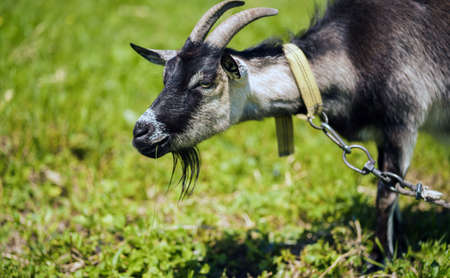 Close up of little goat grazing in green meadow Stok Fotoğraf