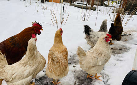 Close up of chickens with rooster walking in courtyard in wintertime Archivio Fotografico
