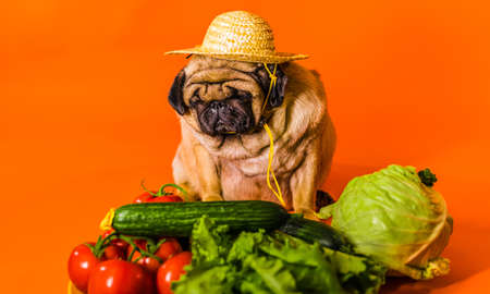 Close up of tired cute pug with red tomatoes on orange background. Relaxed dog in straw hat with vegetables after harvest. Concept of agriculture and organic food
