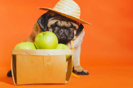 Close up of tired cute pug with green apples on orange background. Relaxed dog in straw hat with fruits after harvest. Concept of agriculture and organic food