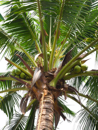 Clusters of green coconuts close-up hanging on palm tree  photo