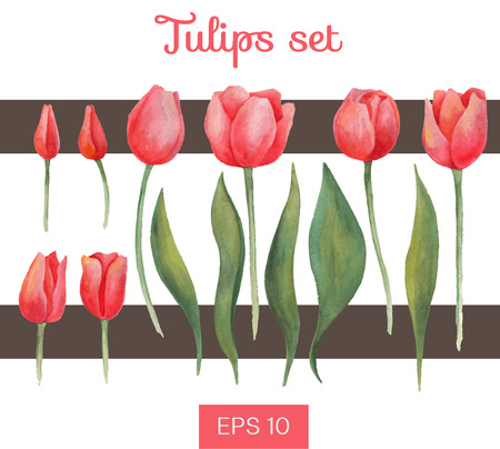 red tulip: Vector watercolor isolated tulips set