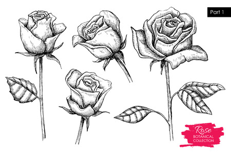 Vector hand drawn botanical rose set. Engraved collection. Great for greating cards, backgrounds, wedding invitations