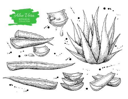 aloe vera plant: Vector hand drawn botanical Aloe Vera. Engraved collection.