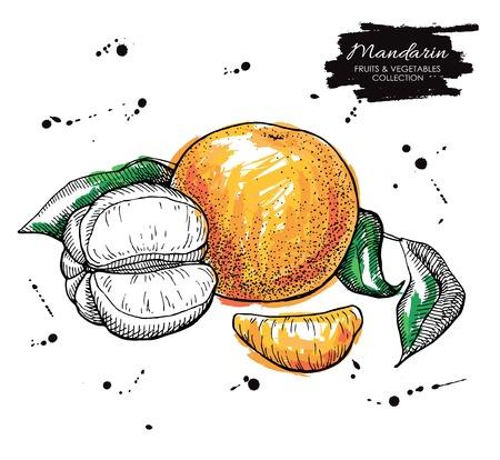 mandarin: Vector hand drawn mandarin illustration. Artistic collection.