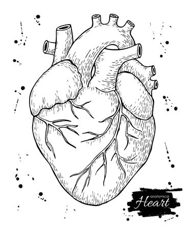 medical drawing: Anatomical human heart. Engraved detailed illustration. Hand drawn
