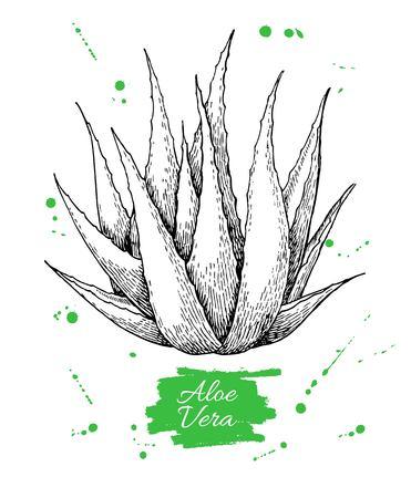 ベクトルの手には、アロエベラの植物が描かれました。刻まれたイラスト。  イラスト・ベクター素材